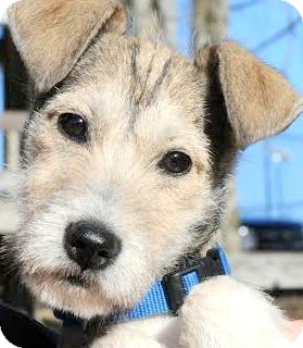 "Wheaten Terrier/Schnauzer (Miniature) Mix Puppy for adoption in Wakefield, Rhode Island - KOLBY(ADORABLE ""SCRUFFY"" PUP!"