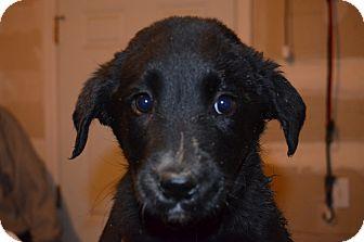 Labrador Retriever Mix Puppy for adoption in Westminster, Colorado - Shamoo