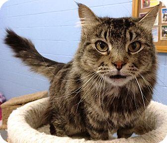 Domestic Longhair Cat for adoption in Fruit Heights, Utah - Mika