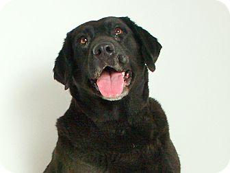 Labrador Retriever Mix Dog for adoption in San Andreas, California - Lena