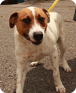 Labrador Retriever/Cattle Dog Mix Dog for adoption in Portland, Maine - Bernard