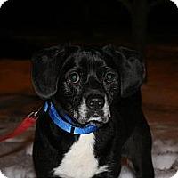 Adopt A Pet :: Socks - Hastings, NY