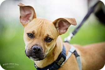 Hound (Unknown Type)/Pug Mix Dog for adoption in Jersey City, New Jersey - Cordell Walker