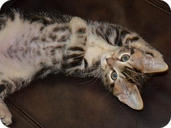 Domestic Shorthair Kitten for adoption in North Highlands, California - JamesTaylor