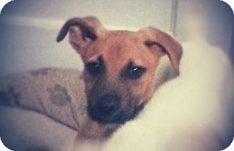 Boxer/Labrador Retriever Mix Puppy for adoption in Madison, Tennessee - Levi loves kids!