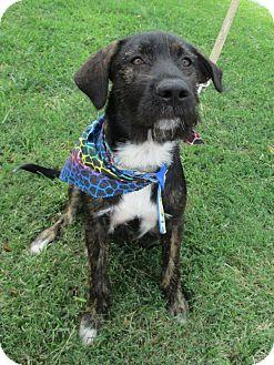 Irish Wolfhound Mix Dog for adoption in Humble, Texas - Rex