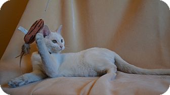 American Shorthair Cat for adoption in Woodward, Oklahoma - Ghost