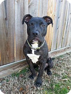 Labrador Retriever/Terrier (Unknown Type, Medium) Mix Dog for adoption in East Hartford, Connecticut - Jake meet me 3/13