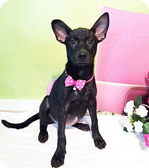Labrador Retriever Mix Puppy for adoption in Castro Valley, California - Lola