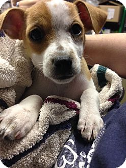 Jack Russell Terrier Mix Puppy for adoption in Lake Odessa, Michigan - Birdy