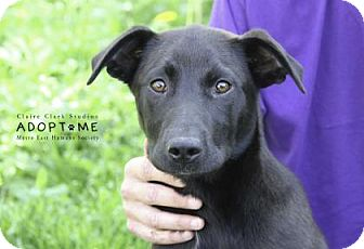 Labrador Retriever Dog for adoption in Edwardsville, Illinois - Chico