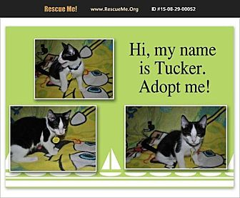 Domestic Shorthair Kitten for adoption in Hurricane, Utah - Tucker