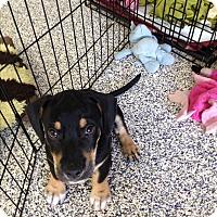 Adopt A Pet :: Santino - Washington, PA
