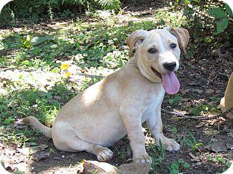 Terrier (Unknown Type, Medium)/Labrador Retriever Mix Puppy for adoption in Newburgh, New York - BOAZ