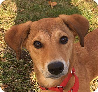 Golden Retriever/Dachshund Mix Puppy for adoption in Elgin, Illinois - Elle Elephant