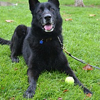 German Shepherd Dog Dog for adoption in Altadena, California - Maska