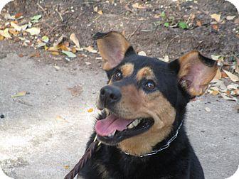 Shepherd (Unknown Type)/Terrier (Unknown Type, Medium) Mix Dog for adoption in Wilwaukee, Wisconsin - A - NEELY
