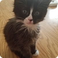 Adopt A Pet :: McStripey Face - Riverview, FL