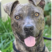 Adopt A Pet :: BOONE-Low Fees/altered - Red Bluff, CA
