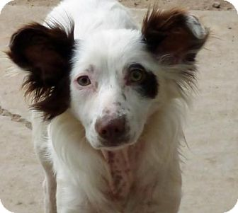Papillon/Australian Shepherd Mix Dog for adoption in Peralta, New Mexico - **BELLATRIX