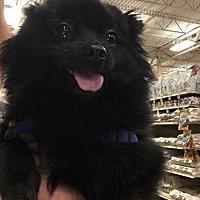 Adopt A Pet :: Philadelphia - DAYTON, OH