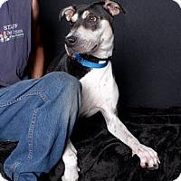 Adopt A Pet :: Gwen - Van Nuys, CA