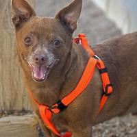 Chihuahua/Rat Terrier Mix Dog for adoption in Noblesville, Indiana - Choco