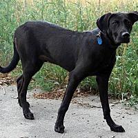 Adopt A Pet :: Poncho - Westminster, CO