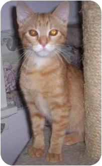 Domestic Shorthair Cat for adoption in St. Louis, Missouri - Sequoia