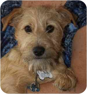 Schnauzer (Miniature)/Border Terrier Mix Puppy for adoption in Redondo Beach, California - Levi