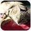 Photo 2 - Domestic Shorthair Cat for adoption in Montgomery, Illinois - Joe