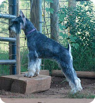 Schnauzer (Standard) Dog for adoption in Greensboro, Georgia - Sylvie