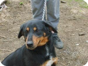 Rottweiler Mix Dog for adoption in latrobe, Pennsylvania - Angelina