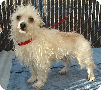 Terrier (Unknown Type, Small) Mix Dog for adoption in Gustine, California - BUDDY