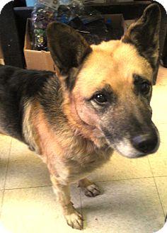 German Shepherd Dog/Shiba Inu Mix Dog for adoption in Union, New Jersey - Diesel