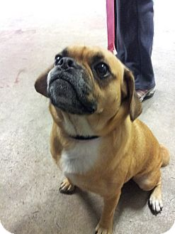 Pug/Beagle Mix Dog for adoption in Puyallup, Washington - Buddy