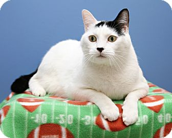 Domestic Shorthair Cat for adoption in Bellingham, Washington - Indie