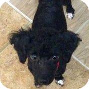 Poodle (Miniature) Mix Dog for adoption in Austin, Texas - Pierre