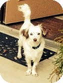 Australian Shepherd Mix Dog for adoption in Las Vegas, Nevada - Chip
