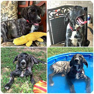 Mountain Cur/Labrador Retriever Mix Puppy for adoption in Mount Ida, Arkansas - Matlock
