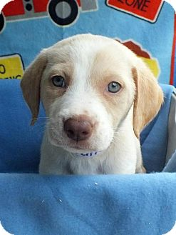 Labrador Retriever Mix Puppy for adoption in Kimberton, Pennsylvania - Julie