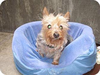 Yorkie, Yorkshire Terrier Mix Dog for adoption in Buena Vista, Colorado - Calliope