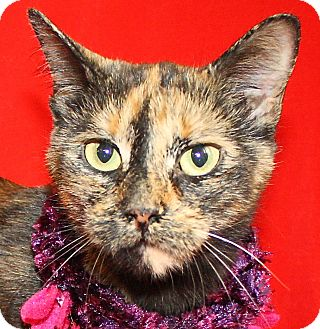 Domestic Shorthair Cat for adoption in Jackson, Michigan - Maggie