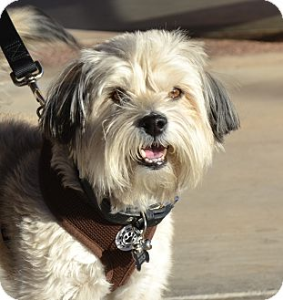 Lhasa Apso Mix Dog for adoption in Chandler, Arizona - Maizy