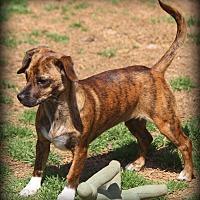 Adopt A Pet :: Brigitte - Greenville, SC