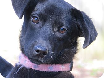 Terrier (Unknown Type, Small)/Labrador Retriever Mix Puppy for adoption in Plainfield, Connecticut - Penelope