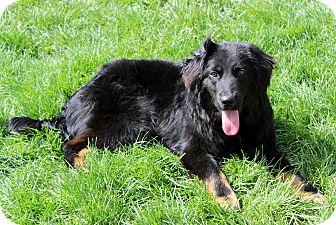Border Collie Mix Dog for adoption in Salem, New Hampshire - KELLAN