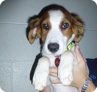 Golden Retriever/Welsh Springer Spaniel Mix Puppy for adoption in Oviedo, Florida - Frenchie