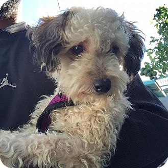 Miniature Poodle/Yorkie, Yorkshire Terrier Mix Dog for adoption in Hollywood, California - Cinnamon