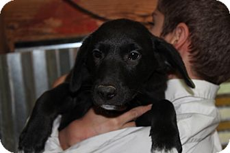 Labrador Retriever/Border Collie Mix Puppy for adoption in Harmony, Glocester, Rhode Island - Seven